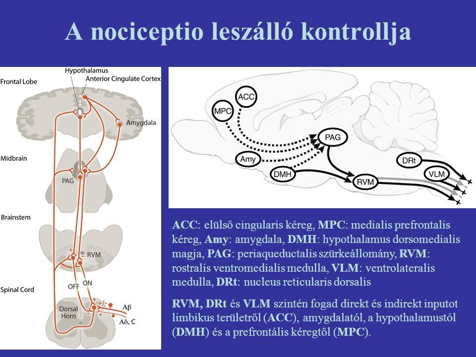 A nociceptio leszálló kontrollja ACC: elülső cingularis kéreg, MPC: medialis prefrontalis kéreg, Amy: amygdala, DMH: hypothalamus dorsomedialis magja, PAG: periaqueductalis szürkeállomány, RVM: rostralis ventromedialis medulla, VLM: ventrolateralis medulla, DRt: nucleus reticularis dorsalis RVM, DRt és VLM szintén fogad direkt és indirekt inputot limbikus területről (ACC), amygdalatól, a hypothalamustól (DMH) és a prefrontális kéregtől (MPC).