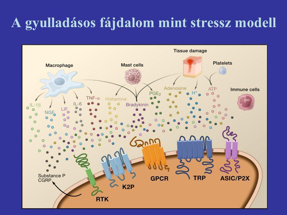 A gyulladásos fájdalom mint stressz modell