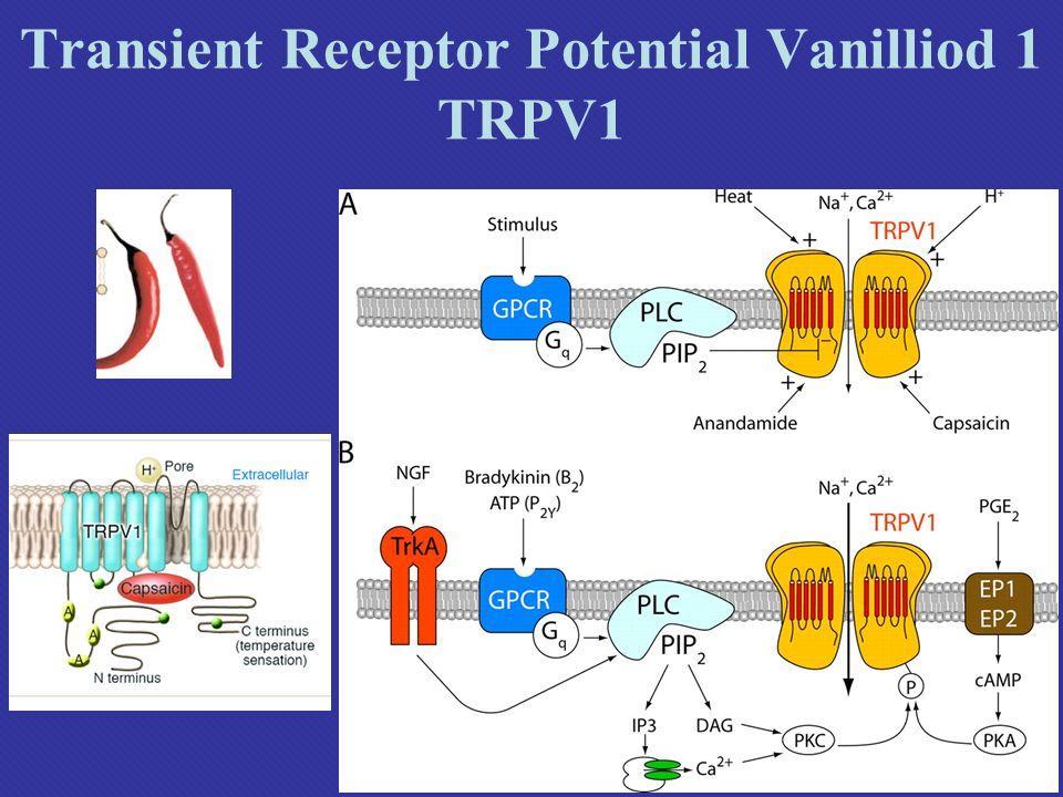 Transient Receptor Potential Vanilliod 1 TRPV1