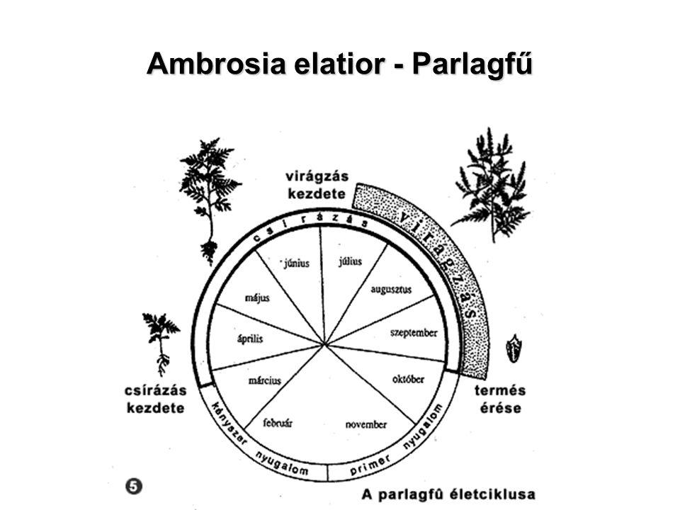Ambrosia elatior - Parlagfű