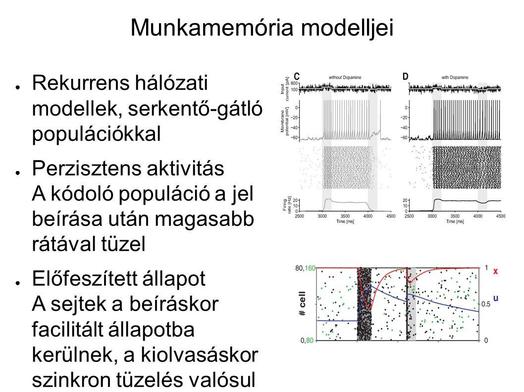 Perzisztens aktivitás A majom prefrontális kérgében egyes sejtek megnövekedett aktivitást mutatnak bizonos stimulusok után a késleltetési szakaszban, ami meghatározza az adott választ is.