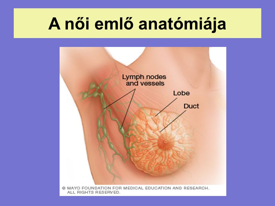 A női emlő anatómiája