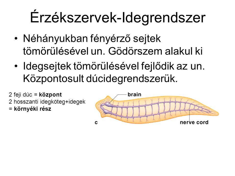 Érzékszervek-Idegrendszer Néhányukban fényérző sejtek tömörülésével un.