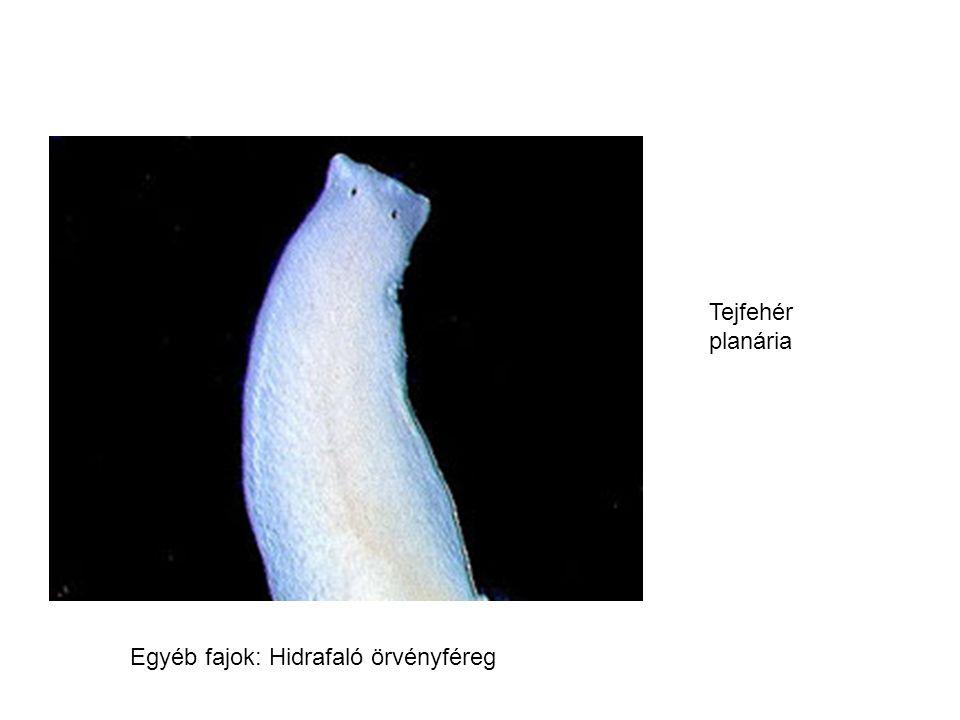 gyászplanária Tejfehér planária Egyéb fajok: Hidrafaló örvényféreg