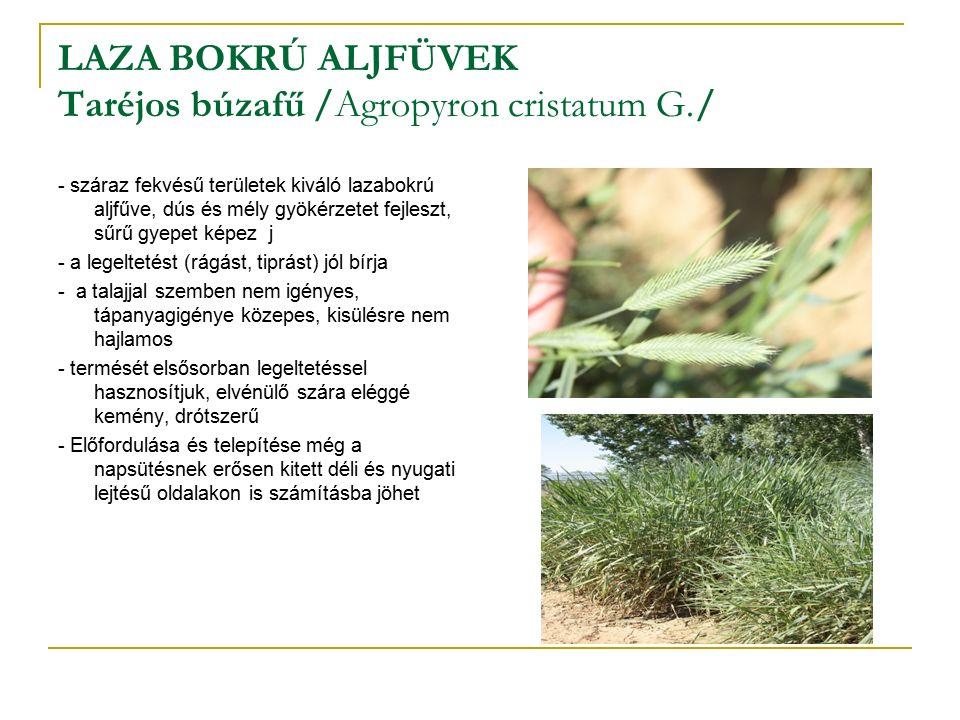 LAZA BOKRÚ ALJFÜVEK Taréjos búzafű /Agropyron cristatum G./ - száraz fekvésű területek kiváló lazabokrú aljfűve, dús és mély gyökérzetet fejleszt, sűrű gyepet képez j - a legeltetést (rágást, tiprást) jól bírja - a talajjal szemben nem igényes, tápanyagigénye közepes, kisülésre nem hajlamos - termését elsősorban legeltetéssel hasznosítjuk, elvénülő szára eléggé kemény, drótszerű - Előfordulása és telepítése még a napsütésnek erősen kitett déli és nyugati lejtésű oldalakon is számításba jöhet
