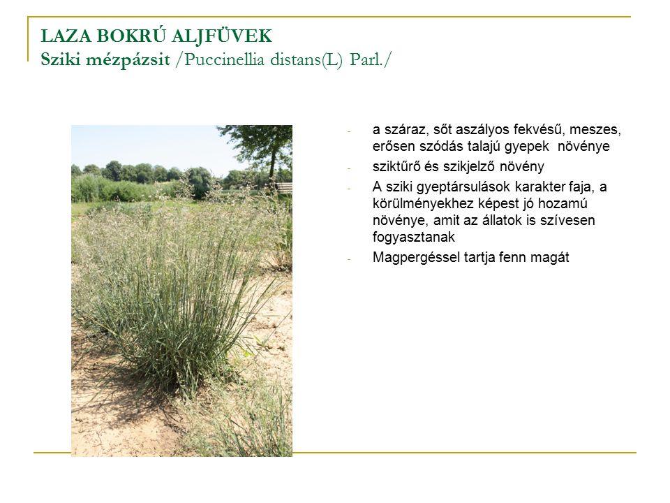 LAZA BOKRÚ ALJFÜVEK Sziki mézpázsit /Puccinellia distans(L) Parl./ - a száraz, sőt aszályos fekvésű, meszes, erősen szódás talajú gyepek növénye - sziktűrő és szikjelző növény - A sziki gyeptársulások karakter faja, a körülményekhez képest jó hozamú növénye, amit az állatok is szívesen fogyasztanak - Magpergéssel tartja fenn magát