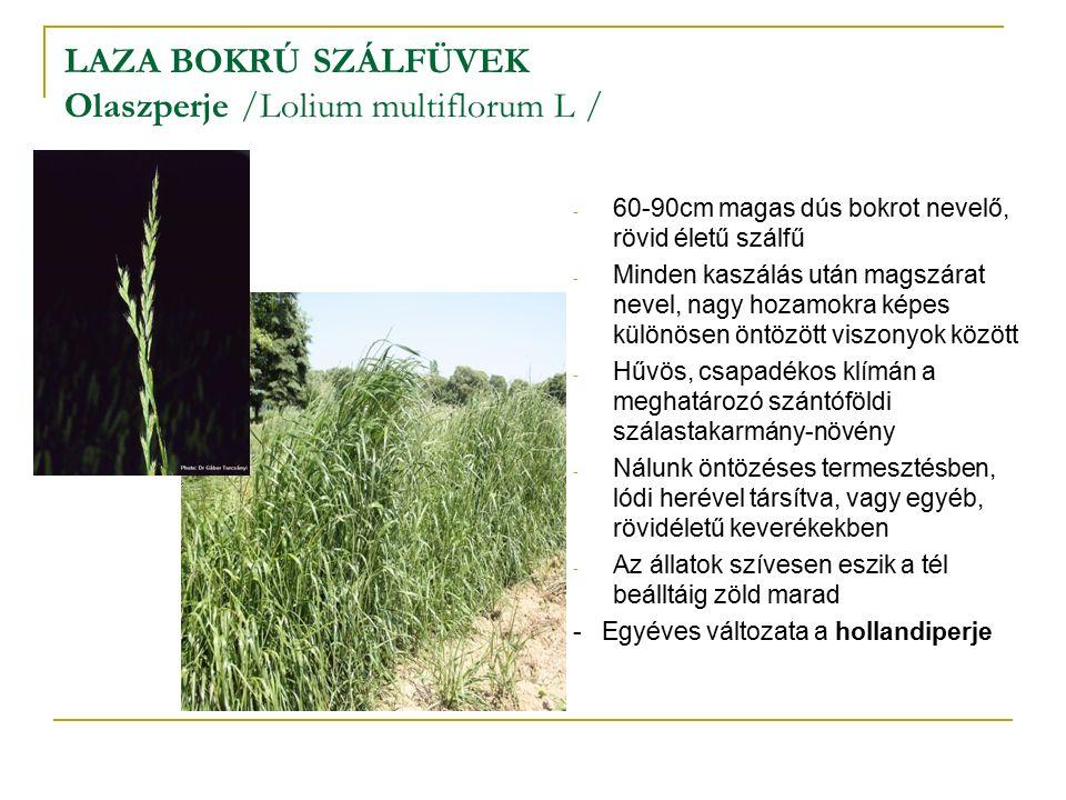 LAZA BOKRÚ SZÁLFÜVEK Olaszperje /Lolium multiflorum L / - 60-90cm magas dús bokrot nevelő, rövid életű szálfű - Minden kaszálás után magszárat nevel, nagy hozamokra képes különösen öntözött viszonyok között - Hűvös, csapadékos klímán a meghatározó szántóföldi szálastakarmány-növény - Nálunk öntözéses termesztésben, lódi herével társítva, vagy egyéb, rövidéletű keverékekben - Az állatok szívesen eszik a tél beálltáig zöld marad - Egyéves változata a hollandiperje