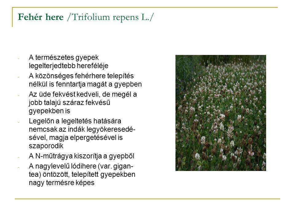 Fehér here /Trifolium repens L./ - A természetes gyepek legelterjedtebb hereféléje - A közönséges fehérhere telepítés nélkül is fenntartja magát a gyepben - Az üde fekvést kedveli, de megél a jobb talajú száraz fekvésű gyepekben is - Legelőn a legeltetés hatására nemcsak az indák legyökeresedé- sével, magja elpergetésével is szaporodik - A N-műtrágya kiszorítja a gyepből - A nagylevelű lódihere (var.