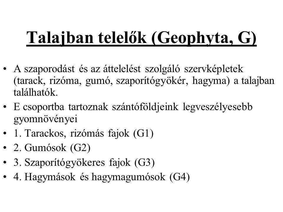 Talajban telelők (Geophyta, G) A szaporodást és az áttelelést szolgáló szervképletek (tarack, rizóma, gumó, szaporítógyökér, hagyma) a talajban találhatók.