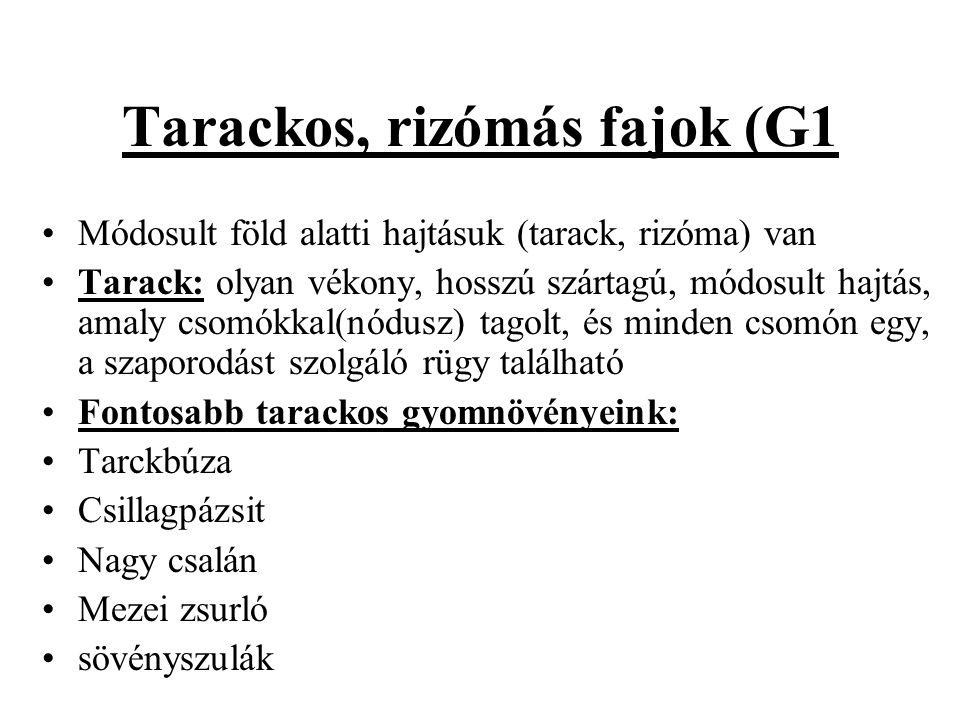 Tarackos, rizómás fajok (G1 Módosult föld alatti hajtásuk (tarack, rizóma) van Tarack: olyan vékony, hosszú szártagú, módosult hajtás, amaly csomókkal(nódusz) tagolt, és minden csomón egy, a szaporodást szolgáló rügy található Fontosabb tarackos gyomnövényeink: Tarckbúza Csillagpázsit Nagy csalán Mezei zsurló sövényszulák