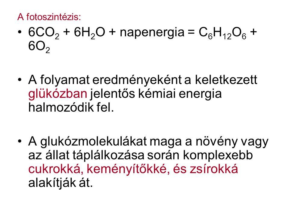 A fotoszintézis: 6CO 2 + 6H 2 O + napenergia = C 6 H 12 O 6 + 6O 2 A folyamat eredményeként a keletkezett glükózban jelentős kémiai energia halmozódik fel.