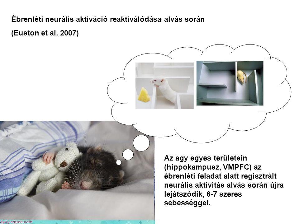 Ébrenléti neurális aktiváció reaktiválódása alvás során (Euston et al.