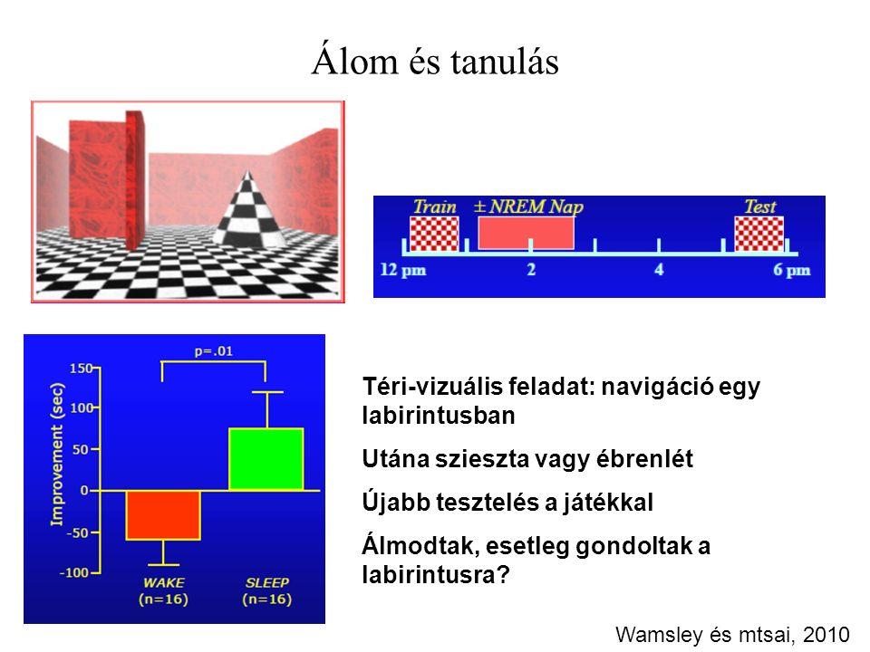 Álom és tanulás Wamsley és mtsai, 2010 Téri-vizuális feladat: navigáció egy labirintusban Utána szieszta vagy ébrenlét Újabb tesztelés a játékkal Álmodtak, esetleg gondoltak a labirintusra?
