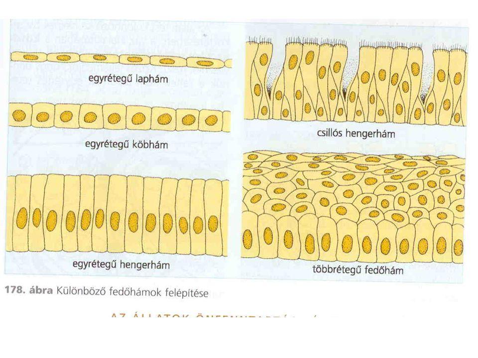 Kötőszövet: lazarostos kötőszövet