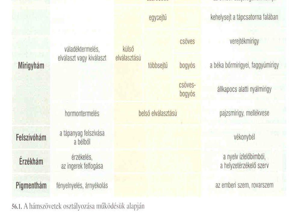 Izomszövet Fő jellemzője: –A kontraktilitás (összehúzódásra képes) Szerepe: –A kontráktilitásból adódóan a működése mozgást (izommozgást) eredményez Felépítése: –Sejtjei megnyúltak, hosszúkásak, közöttük kevés a sejt közötti állomány az izomsejtek citoplazmájában izomfonalak vannak az izomfonalak izom fonalacskákból épülnek fel az izom fonalacskákat pedig izomfehérjék képezik