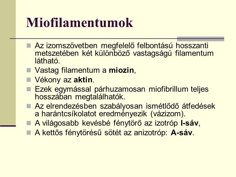 Miofilamentumok Az izomszövetben megfelelő felbontású hosszanti metszetében két különböző vastagságú filamentum látható. Vastag filamentum a miozin, V