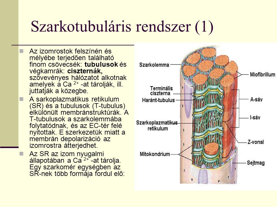Szarkotubuláris rendszer (1) Az izomrostok felszínén és mélyébe terjedően található finom csövecsék: tubulusok és végkamrák: ciszternák, szövevényes hálózatot alkotnak amelyek a Ca 2+ -at tárolják, ill.