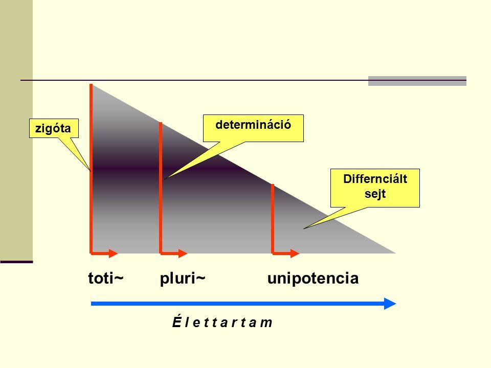 toti~ pluri~ unipotencia determináció zigóta Differnciált sejt É l e t t a r t a m