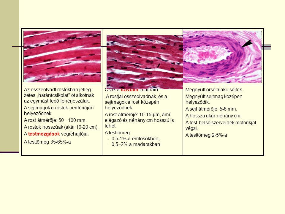 """Az összeolvadt rostokban jelleg- zetes """"harántcsikolat""""-ot alkotnak az egymást fedő fehérjeszálak. A sejtmagok a rostok perifériáján helyeződnek. A ro"""