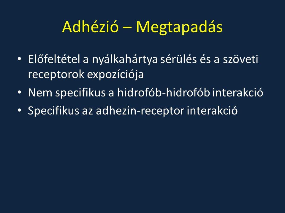 Adhézió – Megtapadás Előfeltétel a nyálkahártya sérülés és a szöveti receptorok expozíciója Nem specifikus a hidrofób-hidrofób interakció Specifikus az adhezin-receptor interakció
