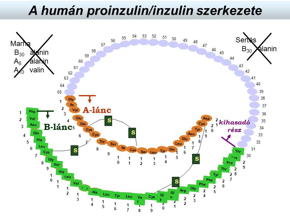 Sertés B 30 alanin Marha B 30 alanin A 8 alanin A 10 valin A humán proinzulin/inzulin szerkezete