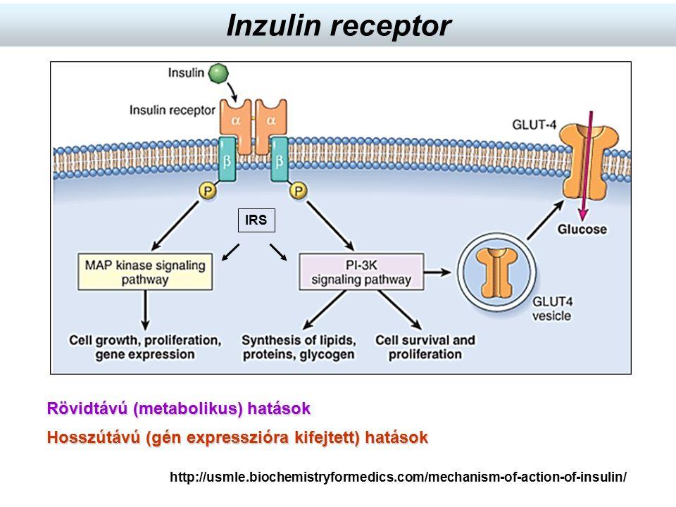 http://usmle.biochemistryformedics.com/mechanism-of-action-of-insulin/ IRS Inzulin receptor Rövidtávú (metabolikus) hatások Hosszútávú (gén expresszió