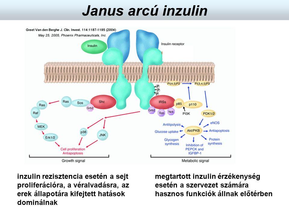 megtartott inzulin érzékenység esetén a szervezet számára hasznos funkciók állnak előtérben inzulin rezisztencia esetén a sejt proliferációra, a véral