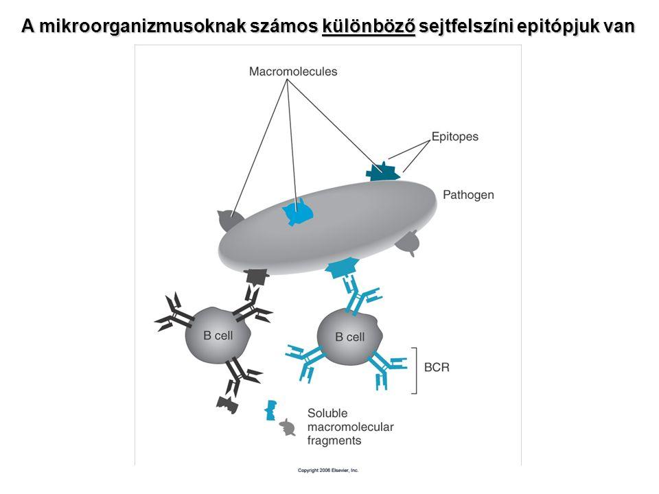 A mikroorganizmusoknak számos különböző sejtfelszíni epitópjuk van