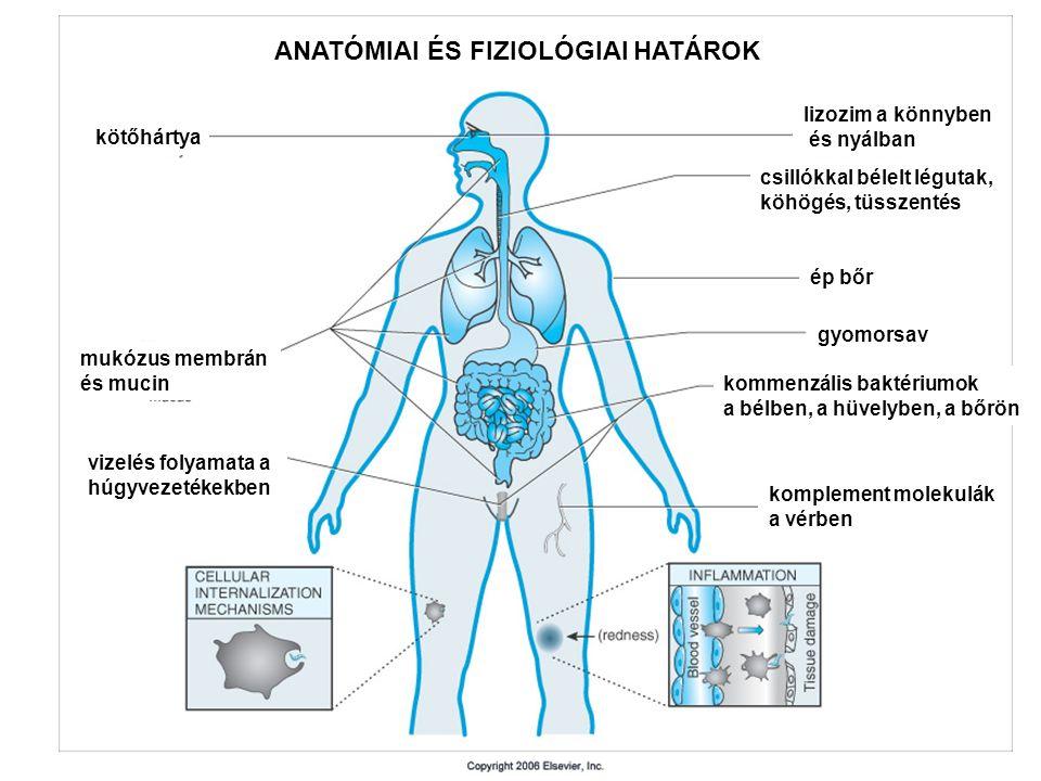 ANATÓMIAI ÉS FIZIOLÓGIAI HATÁROK kötőhártya mukózus membrán és mucin vizelés folyamata a húgyvezetékekben lizozim a könnyben és nyálban csillókkal bélelt légutak, köhögés, tüsszentés ép bőr gyomorsav kommenzális baktériumok a bélben, a hüvelyben, a bőrön komplement molekulák a vérben