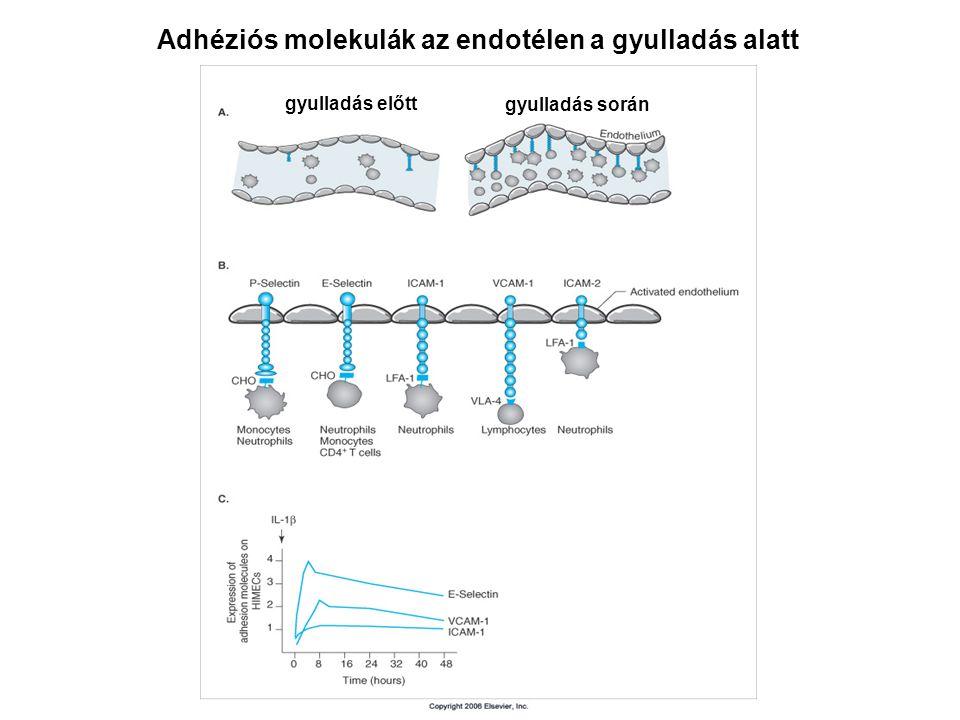 Adhéziós molekulák az endotélen a gyulladás alatt gyulladás előtt gyulladás során