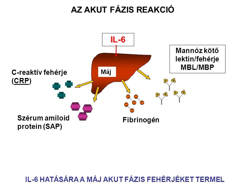 Máj IL-6 Mannóz kötő lektin/fehérje MBL/MBP Fibrinogén Szérum amiloid protein (SAP) C-reaktív fehérje (CRP) AZ AKUT FÁZIS REAKCIÓ IL-6 HATÁSÁRA A MÁJ AKUT FÁZIS FEHÉRJÉKET TERMEL