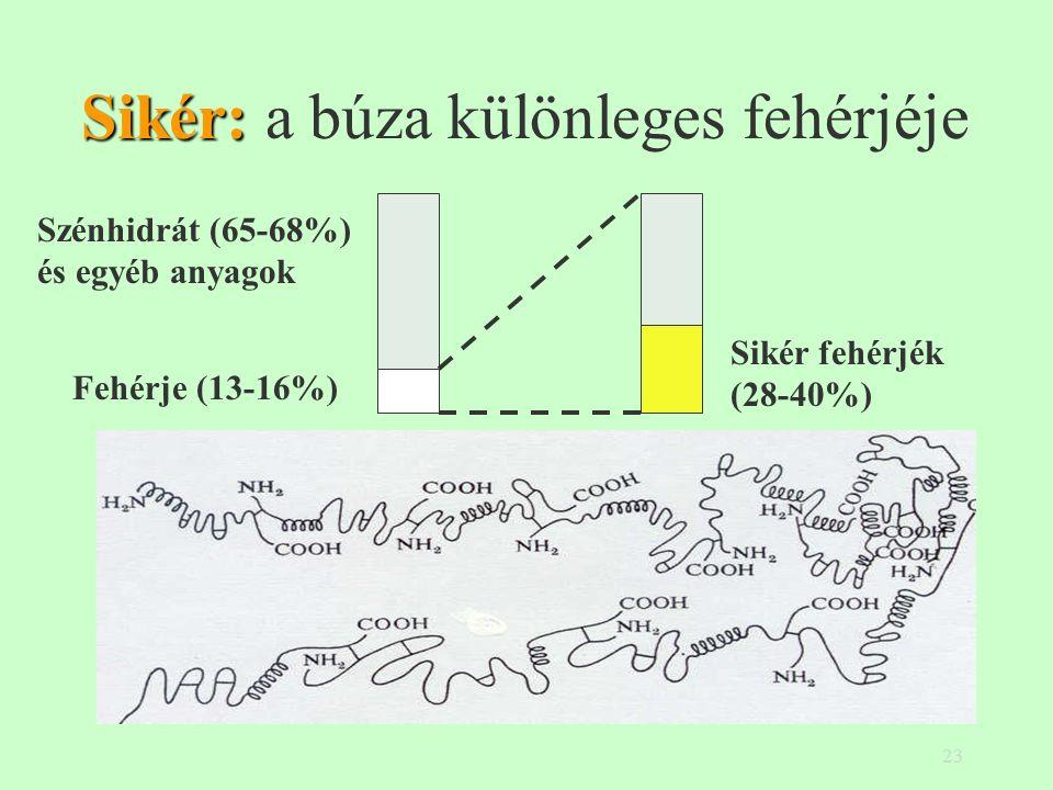 23 Sikér: Sikér: a búza különleges fehérjéje Szénhidrát (65-68%) és egyéb anyagok Fehérje (13-16%) Sikér fehérjék (28-40%)
