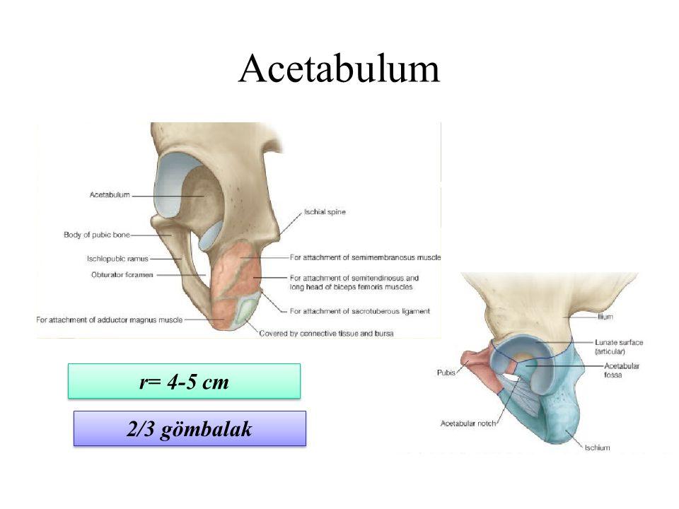 Acetabulum r= 4-5 cm 2/3 gömbalak