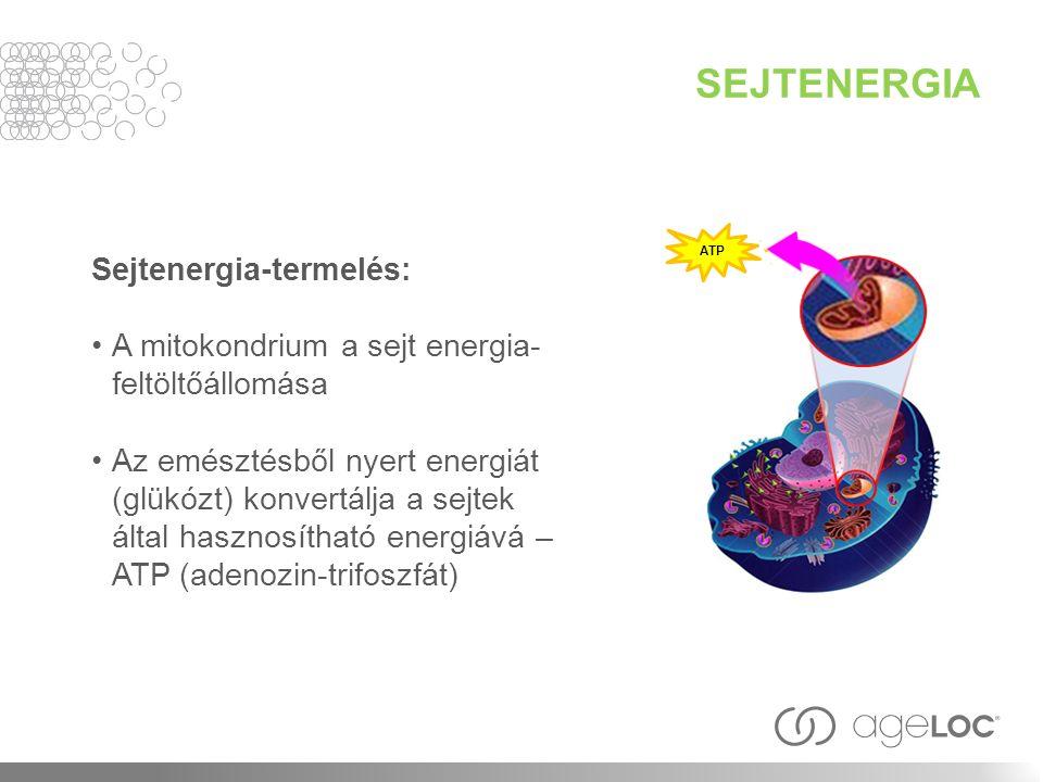 SEJTENERGIA Sejtenergia-termelés: A mitokondrium a sejt energia- feltöltőállomása Az emésztésből nyert energiát (glükózt) konvertálja a sejtek által hasznosítható energiává – ATP (adenozin-trifoszfát) ATP
