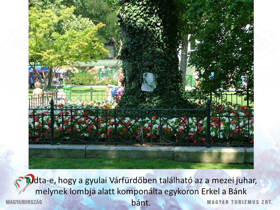 Tudta-e, hogy a gyulai Várfürdőben található az a mezei juhar, melynek lombja alatt komponálta egykoron Erkel a Bánk bánt.