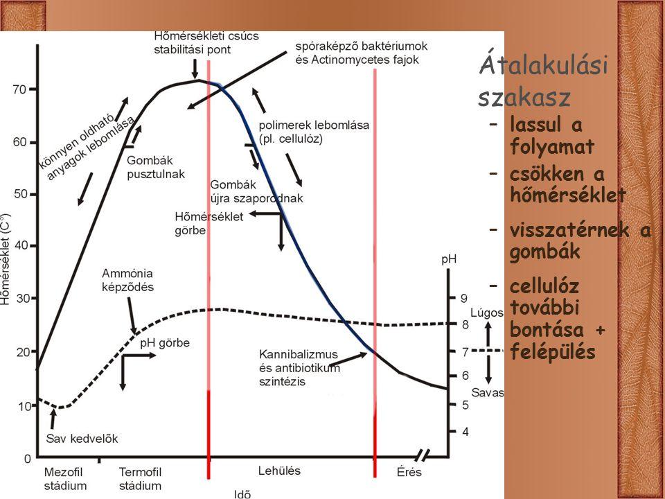 Átalakulási szakasz –lassul a folyamat –csökken a hőmérséklet –visszatérnek a gombák –cellulóz további bontása + felépülés