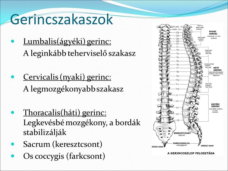 Gerincszakaszok Lumbalis(ágyéki) gerinc: A leginkább teherviselő szakasz Cervicalis (nyaki) gerinc: A legmozgékonyabb szakasz Thoracalis(háti) gerinc: