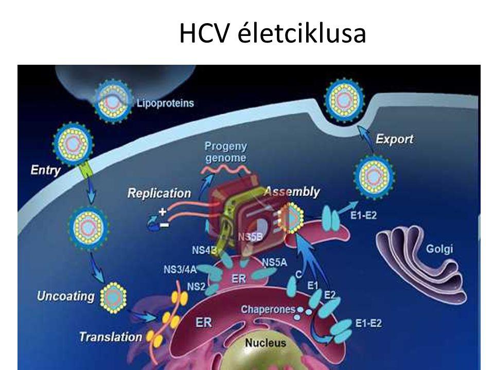 HCV életciklusa