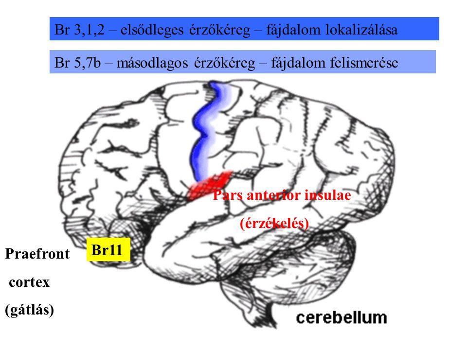 Praefront cortex (gátlás) Br11 Br 3,1,2 – elsődleges érzőkéreg – fájdalom lokalizálása Br 5,7b – másodlagos érzőkéreg – fájdalom felismerése Pars anterior insulae (érzékelés)