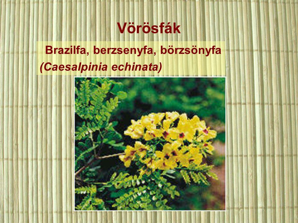 Vörösfák Brazilfa, berzsenyfa, börzsönyfa (Caesalpinia echinata)