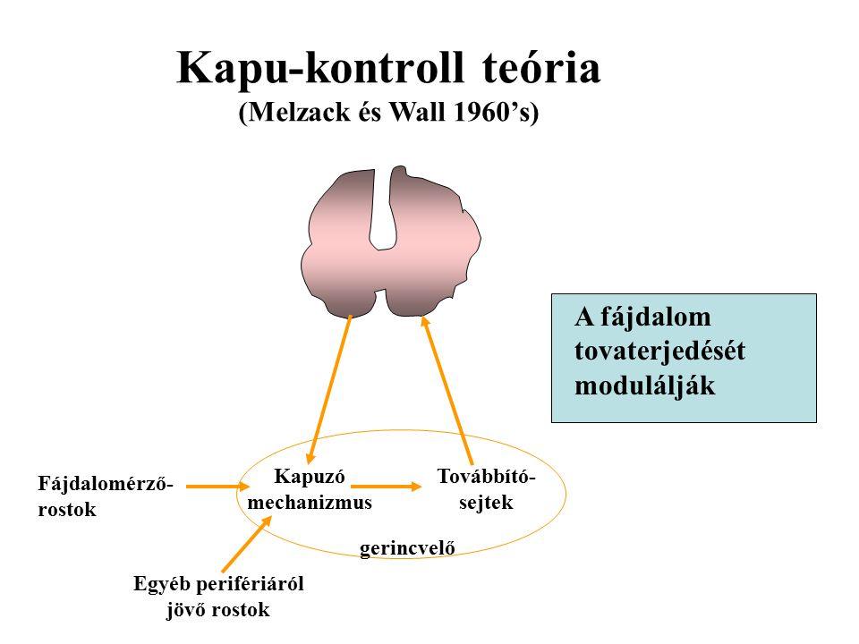 Kapu-kontroll teória (Melzack és Wall 1960's) Kapuzó mechanizmus Továbbító- sejtek gerincvelő Fájdalomérző- rostok Egyéb perifériáról jövő rostok A fájdalom tovaterjedését modulálják