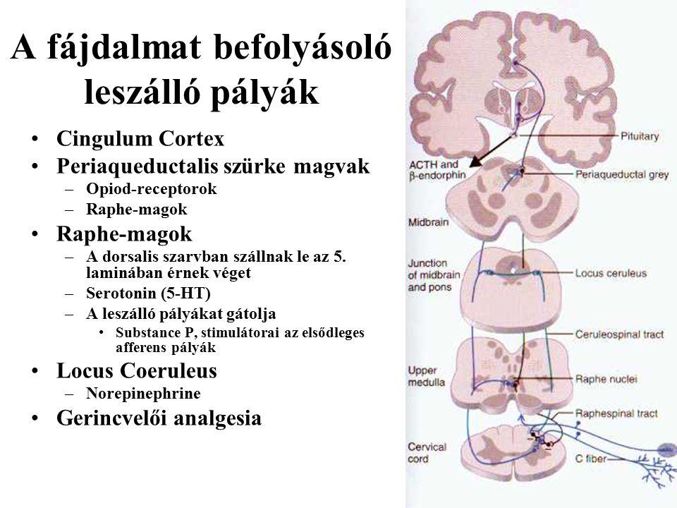 Cingulum Cortex Periaqueductalis szürke magvak –Opiod-receptorok –Raphe-magok Raphe-magok –A dorsalis szarvban szállnak le az 5.