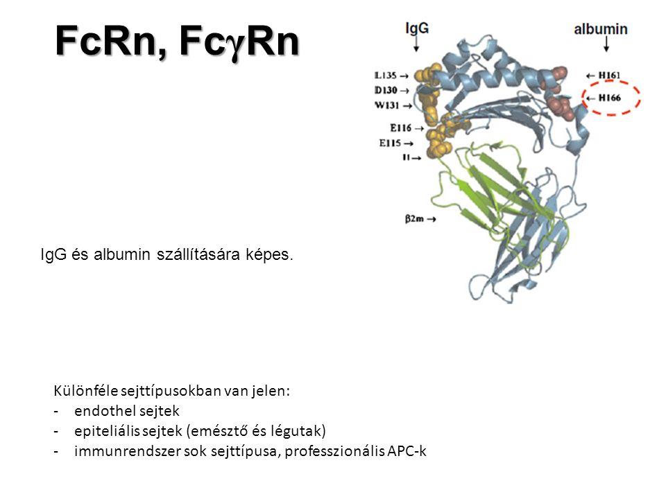 FcRn, Fc γ Rn IgG és albumin szállítására képes. Különféle sejttípusokban van jelen: -endothel sejtek -epiteliális sejtek (emésztő és légutak) -immunr