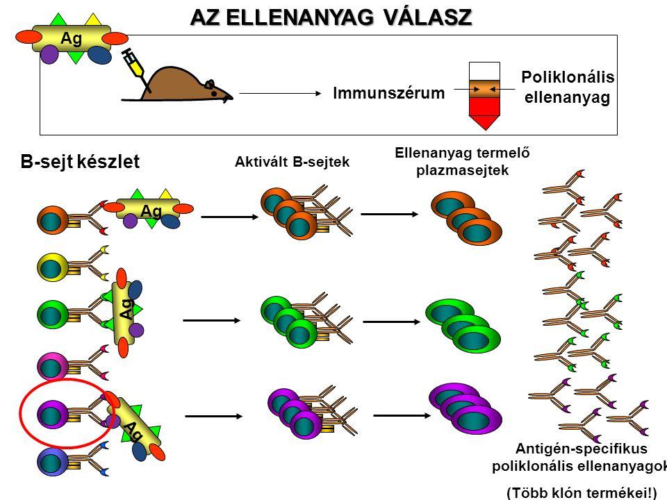 AZ ELLENANYAG VÁLASZ Immunszérum Poliklonális ellenanyag B-sejt készlet Aktivált B-sejtek Ellenanyag termelő plazmasejtek Antigén-specifikus polikloná