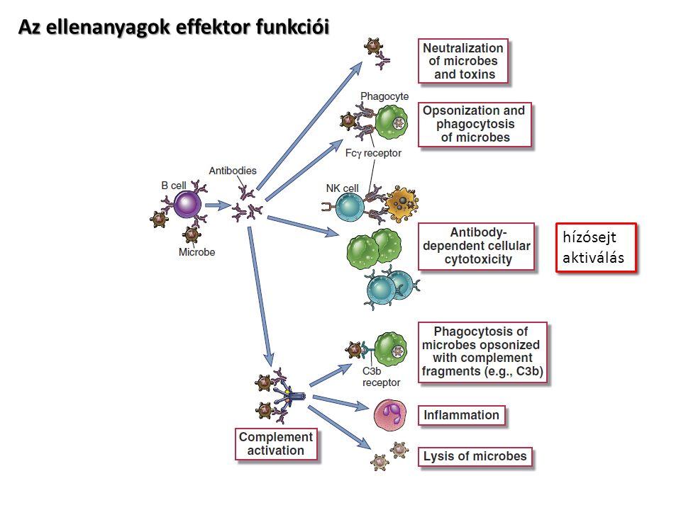 scFV - single chain variable fragment kétféle elrendezés lehetséges peptid linkerekkel többet összekombinálva növelhető az aviditás (Itt az Fv fragmentek azonos specifitásúak) neutralizációs célokra receptor funkció gátláshoz