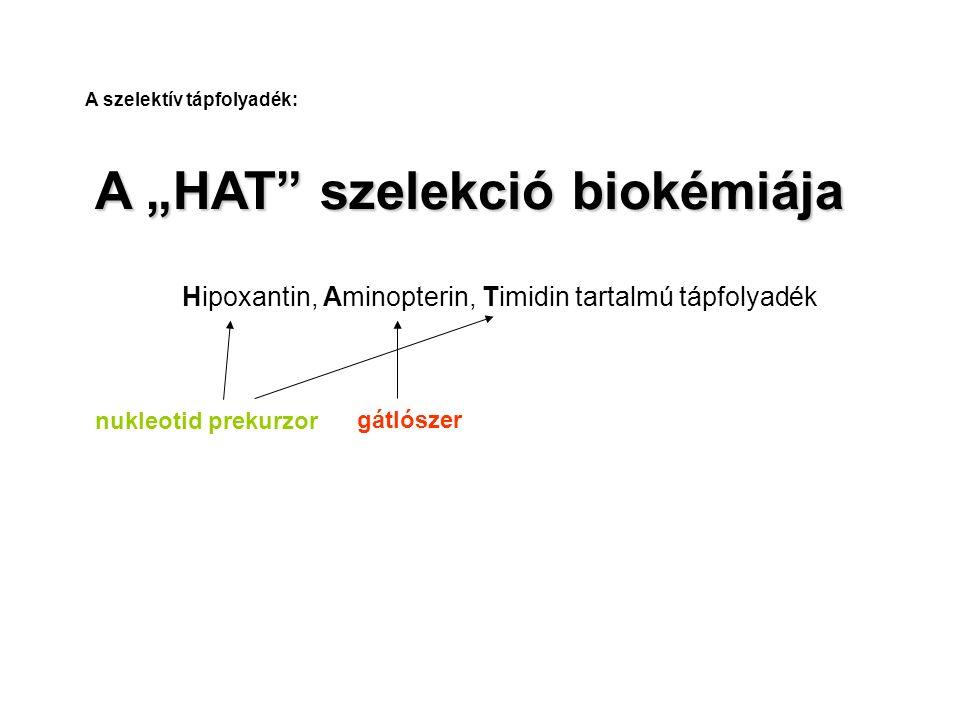 """A """"HAT"""" szelekció biokémiája Hipoxantin, Aminopterin, Timidin tartalmú tápfolyadék nukleotid prekurzor gátlószer A szelektív tápfolyadék:"""