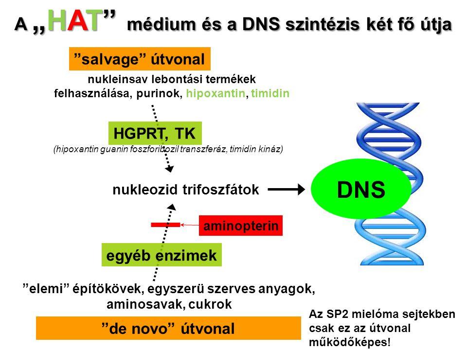 """""""de novo"""" útvonal """"salvage"""" útvonal aminopterin nukleozid trifoszfátok DNS """"elemi"""" építökövek, egyszerü szerves anyagok, aminosavak, cukrok egyéb enzi"""