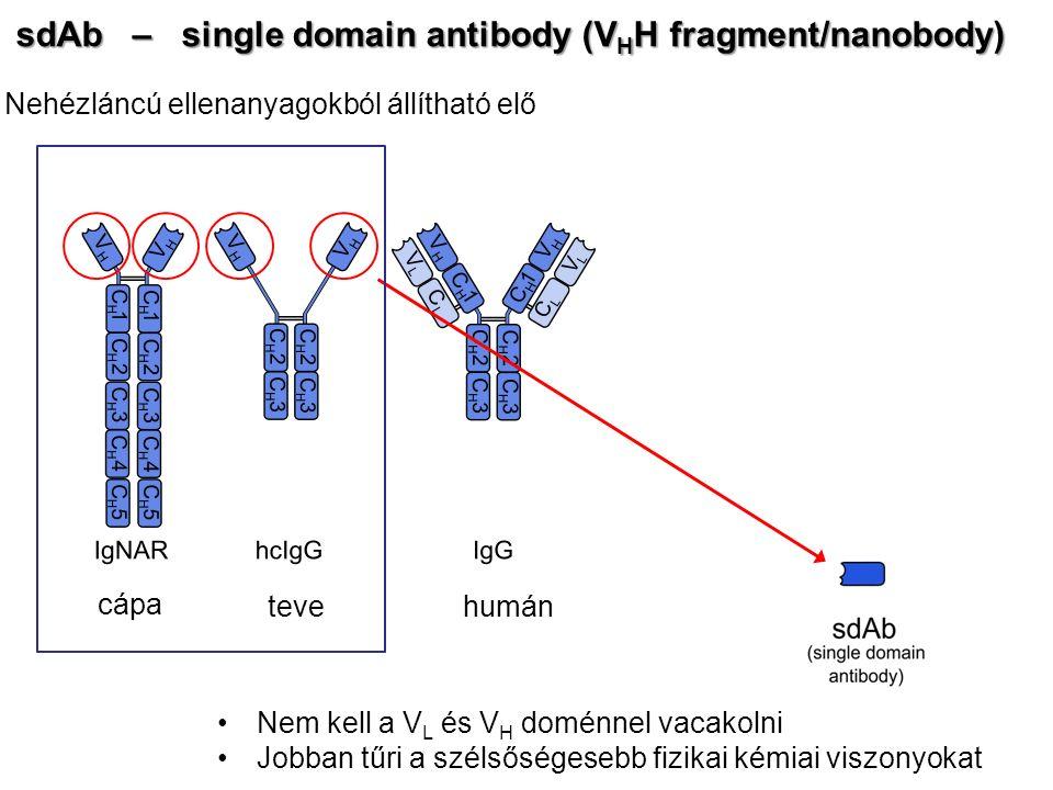sdAb – single domain antibody (V H H fragment/nanobody) Nehézláncú ellenanyagokból állítható elő cápa tevehumán Nem kell a V L és V H doménnel vacakol