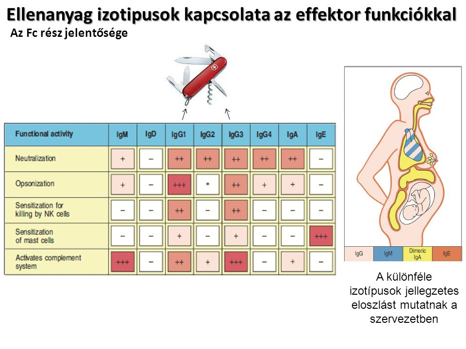 Ellenanyag izotipusok kapcsolata az effektor funkciókkal A különféle izotípusok jellegzetes eloszlást mutatnak a szervezetben Az Fc rész jelentősége