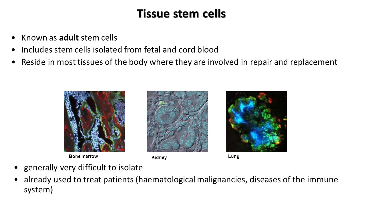 Tissue stem cells Known as adult stem cells Includes stem cells isolated from fetal and cord blood Reside in most tissues of the body where they are involved in repair and replacement generally very difficult to isolate already used to treat patients (haematological malignancies, diseases of the immune system) Bone marrow Kidney Lung